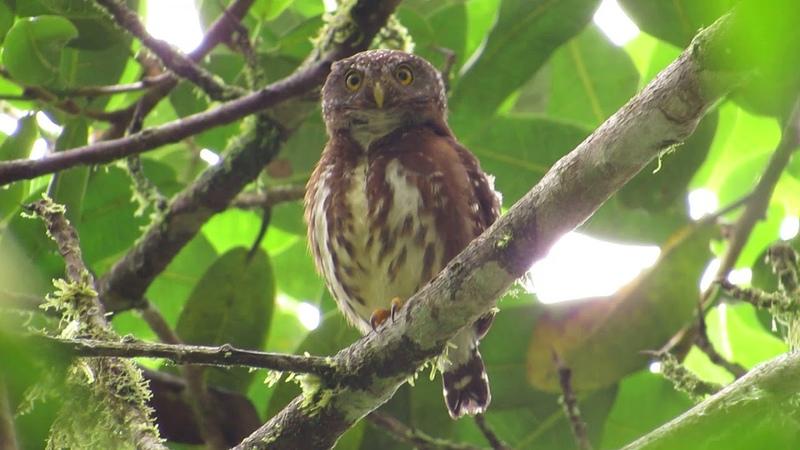 Choco endemic, cloud-forest pygmy owl (Glaucidium nubicola) Providencia -Pueblo rico Colombia