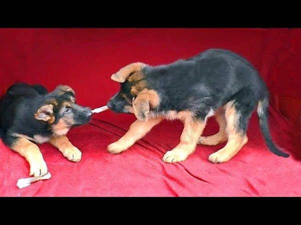 Разошлись не на шутку! Щенки Немецкой овчарки от Райда. Puppies German shepherd 3.5 months.