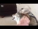 Волчица играет с кошкой И наоборот