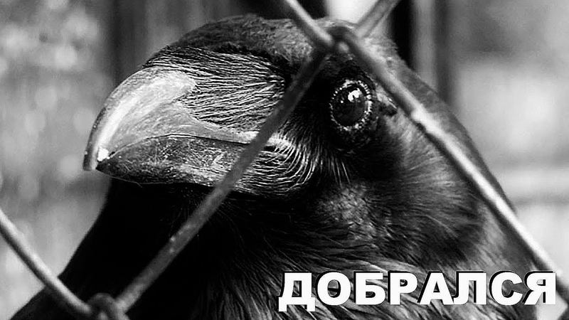 Черный ворон переехал в птичий приют Крылья мира