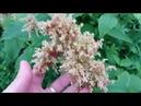 Зацвела кислица Сахалинская травы Сахалина
