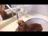 Такса принимает душ. Смешные собаки
