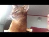 Abyssinian cat demanding kisses