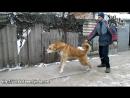 Кавказские овчарки Ваша идеальная защита волкодав