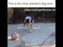Великолепно дрессированная собака