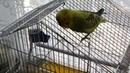 Волнистый попугай рассказывает о своей жизни