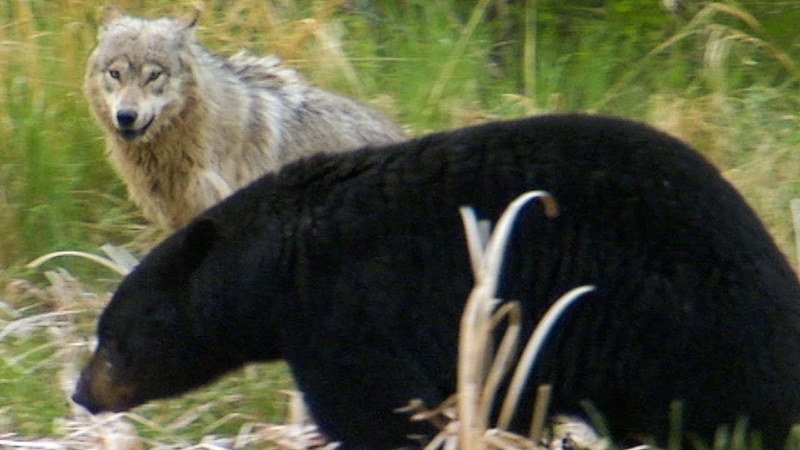 Wolf Protects Pups From a Bear