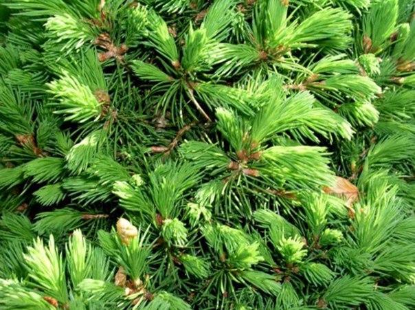 Уход за цветниками-мульча - сосновые иголки, ветки еловые нарезанные
