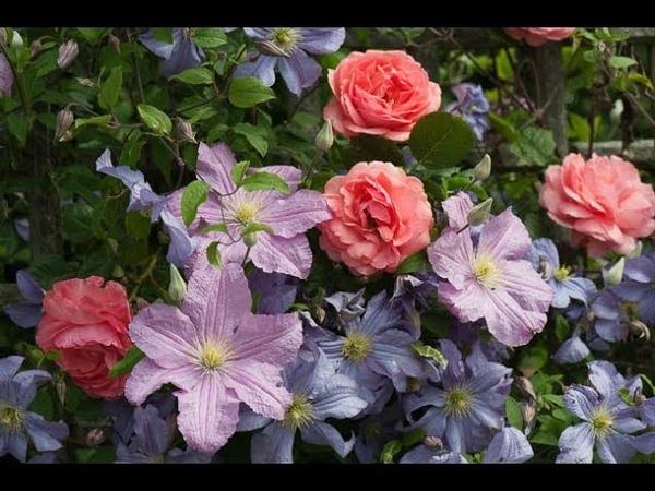 Клематисы Летняя обрезка после первого цветения Как стимулировать повторное цветение клематисов
