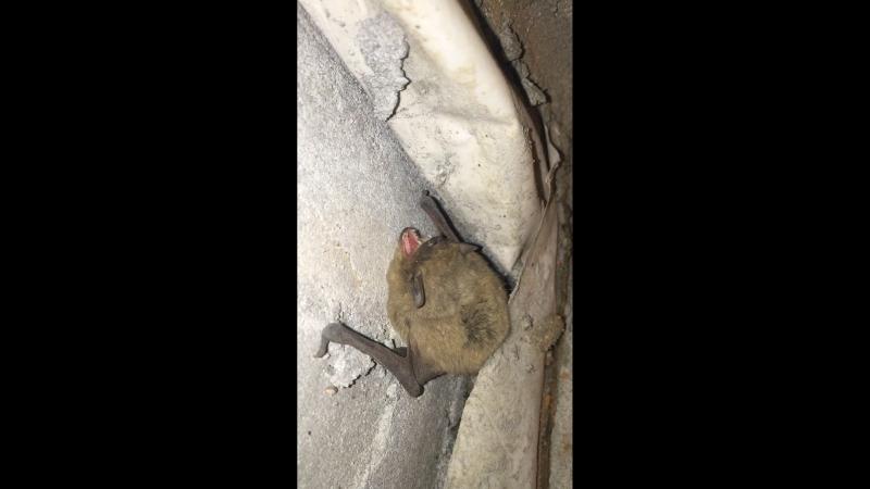 Летучая мышь зимует в доме