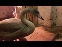 Новые лебеди с травмами в приюте СПАСИ МЕНЯ