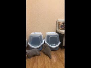 Домик туалет и котята Ч-1 #doctorandfluffyarmy_cattery #питомниккошек #волгоград34 #британцы