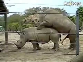 Животный мир животный секс носорогов спаривания