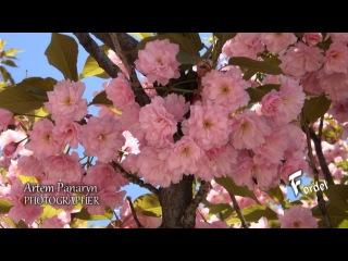 Сакура - идея для дизайна сада - фото sakura landscaping