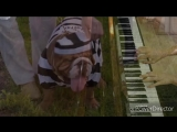 Бульдожки.Регтайм.Пианино.