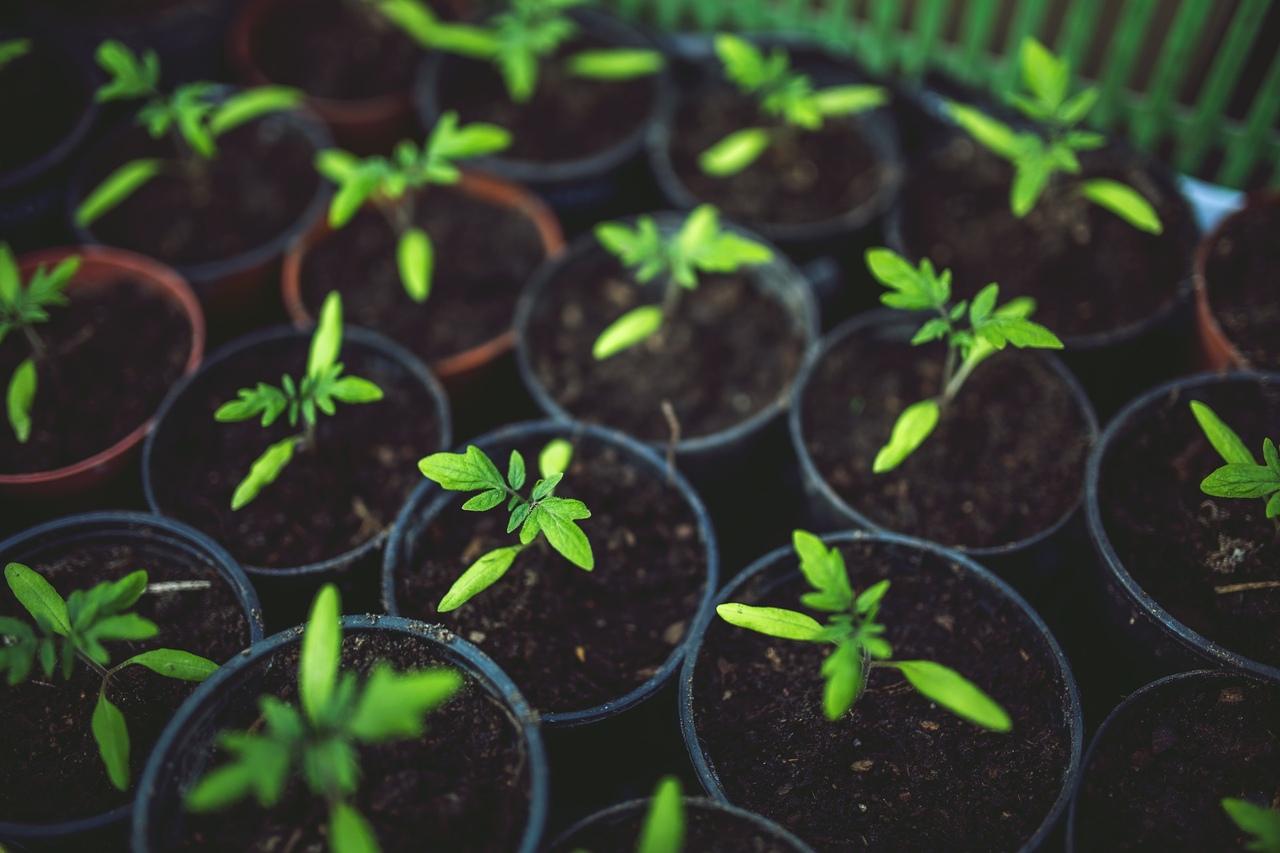 Когда сажать помидоры на рассаду в 2019 году по лунному календарю, погоде, рекомендациям производителей