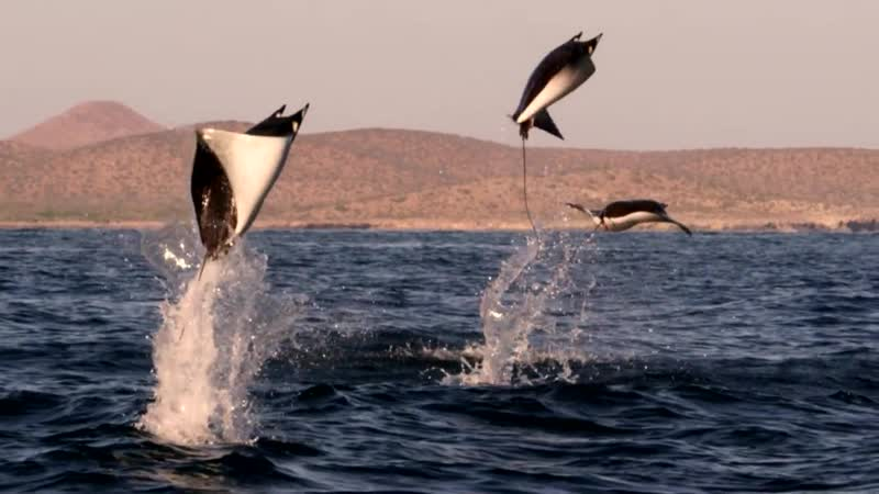 Манты полёт. Mobula Rays belly flop to attract a mate - Shark- Episode 2 Preview - BBC One
