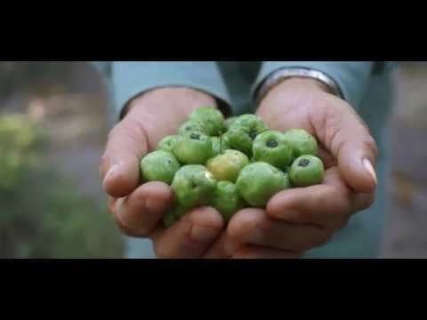 Amway uses grafting to grow exceptional Acerola Cherry trees | WHQ News