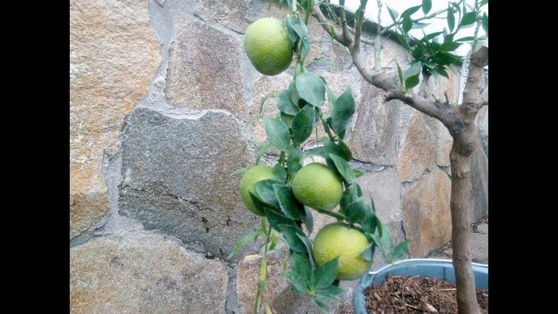 Воздушная отводка лимона и ещё...