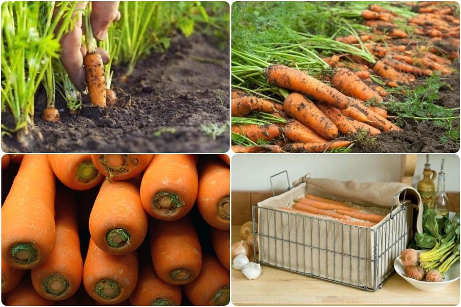 Уборка моркови и способы, как сохранить её до весны