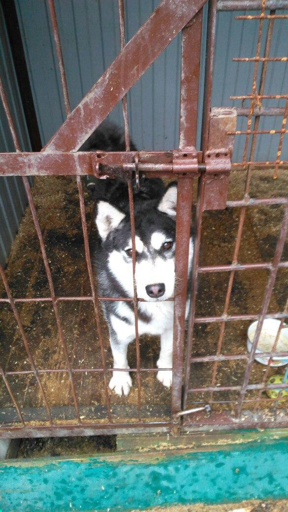 Пропала собака породы хаски , убежала из двора ул.