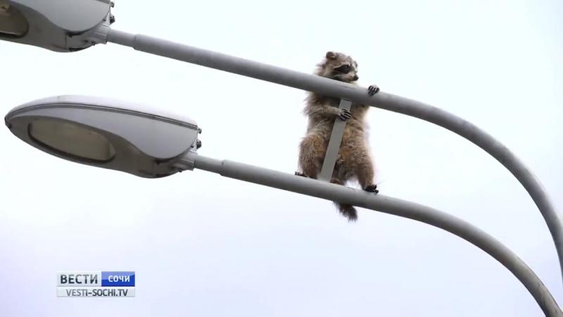 Енот на фонарном столбе- как в Сочи спасали животное