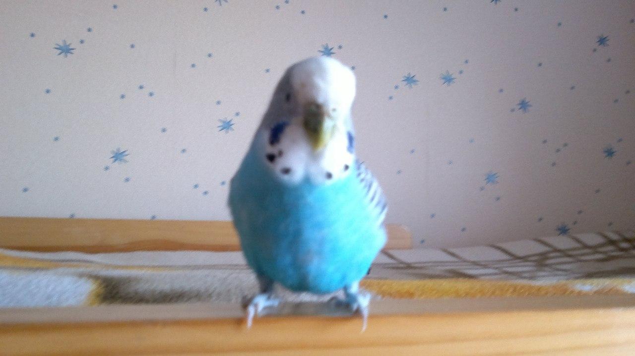 знакомство самки и самца волнистого попугая