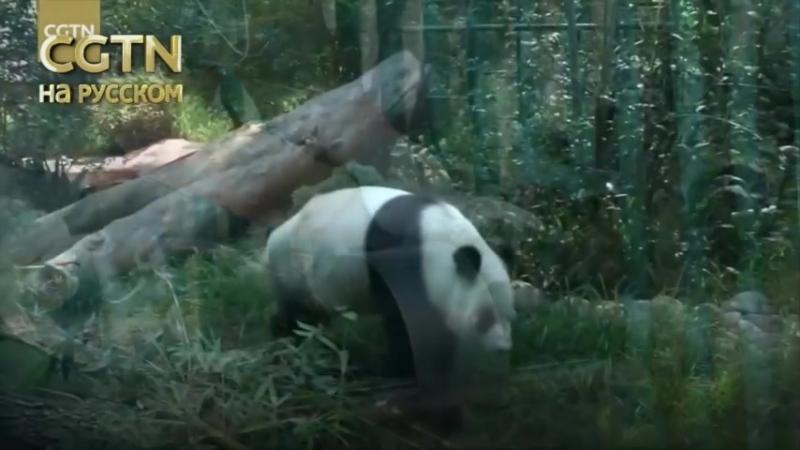 Две самые старые панды в мире, которые живут за пределами Китая, обитают в зоопарке Чапультек в Мехико