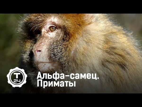 Альфа-самец. Приматы | Т24