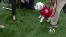 Texas Mascot Longhorn vs. Georgia Mascot Bulldog