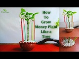 How to Grow Money Plant Like a Tree Money plant Growing With Aerial Roots GREEN PLANTS