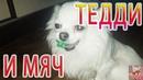 Чихуахуа собака мини Приколы чихуашкой чихуахуа играет с мячом Teddy Chih Порода собак Chihuahua
