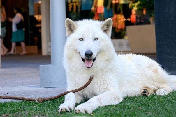 Волкособы — популяция волко-собачьих гибридов, выведенная в Пермском институте в...