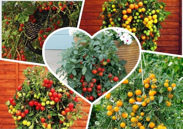 Ампельные помидоры Ампельные помидоры, как в стадии цветения, так и с плодами это очень красиво. Ничуть не менее декоративно, чем растущие в подвесных горшках цветы. И уж точно более необычно