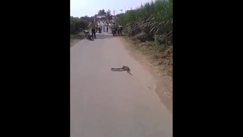 мангуст воюет с коброй