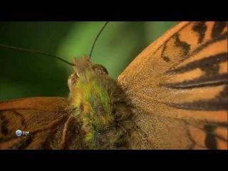 BBC: Мир природы. Бабочки / BBC: Natural Wold. Butterflies (2010) HDTVRip (720p) фрагмент