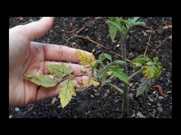 Почему желтеют листья у помидор в теплице - как помоч томату