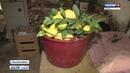 В Крыму начали собирать урожай лимонов