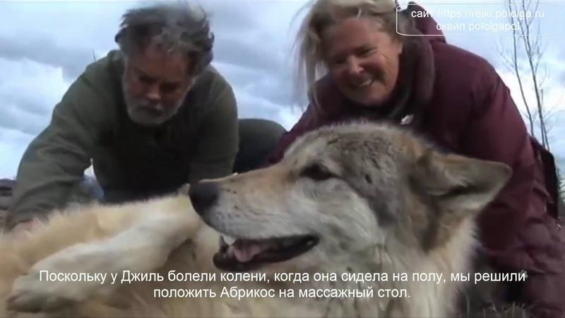 Волчица, исцеляющаяся энергией Рейки