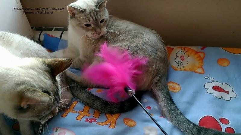 Тайским котику Дориану и его сестре Дезире исполнилось сегодня 11 декабря 5 лет! Тайские кошки