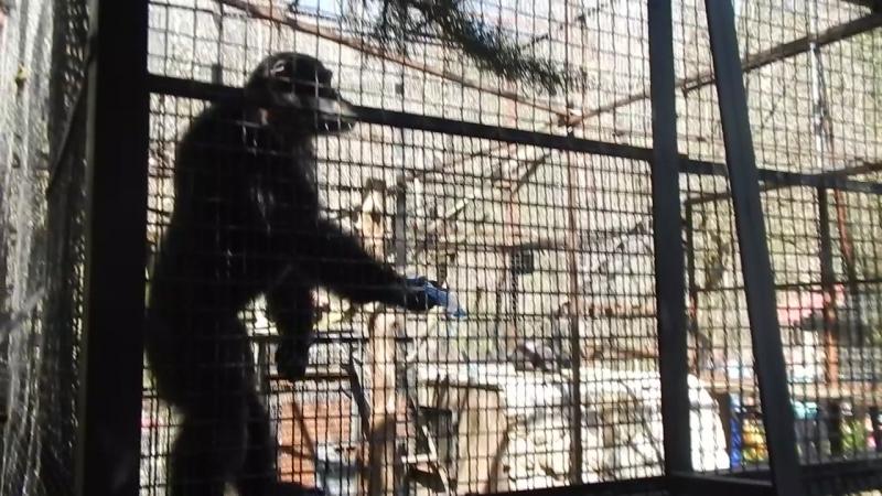 Шимпанзе из Ялты, ..никто не наливает..