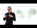 Человекообразные обезьяны Человек как примат Происхождение человека 3