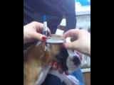 проклейка купированных ушей у щенка боксера