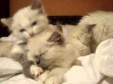 котята рэгдолл: Айси и Шерри