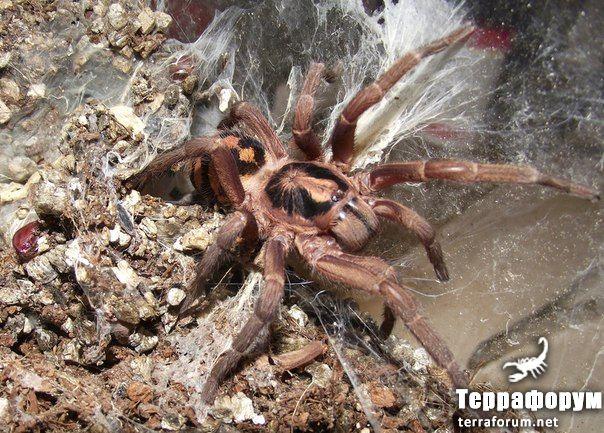 Hapalopus-formosus