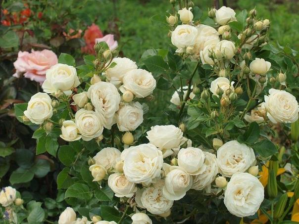 весення подкормка роз чтобы розы цвели пышно и кусты были здоровыми, нужна весенняя подкормка роз, да и всего цветущего в саду удобрениями с преобладанием азота.для только, что посаженных роз и