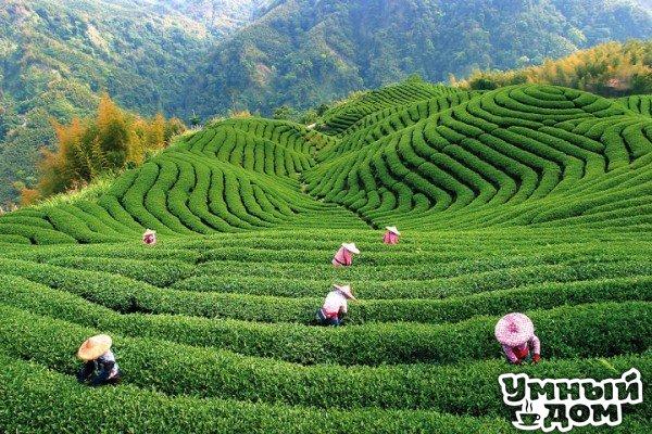 Мифы о чае Этот ароматный, бодрящий напиток в последнее время приобрел необычайную популярность. Чай пьют все и везде, а стоимость этого ароматного напитка порой достигает немыслимых цифр. Если раньше чаем называли залитую кипятком жменьку сухих листьев, небрежно брошенных в алюминиевую кружку, то теперь приготовление и употребление этого напитка сопровождается церемониями, привнесенными в нашу жизнь восточной культурой. Между тем, мы еще не освоили в совершенстве все тонкости гурманских…