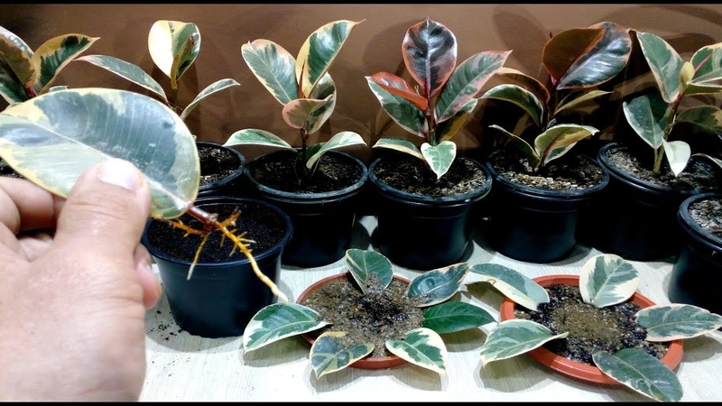 How to grow Ficus Elastica from single leaf