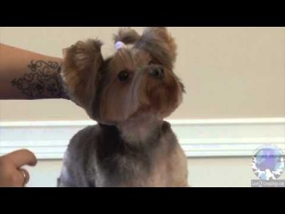 Grooming a Pet Yorkie in the 'Bella-Bottom Trim' Part 2