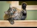КАК НАУЧИТЬСЯ ПОНИМАТЬ СВОЮ КОШКУ How to understand your cat